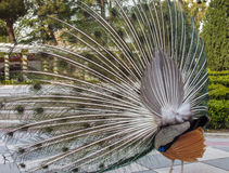 Rear view of a peacock with deployed feathers at urban park Stock Photography