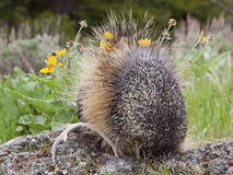 Rear view of Porcupine Stock Images