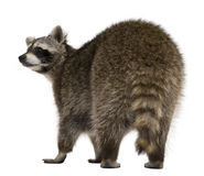 Rear view of Raccoon, 2 years old Royalty Free Stock Photography