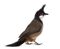 Rear view of a Red-whiskered Bulbul - Pycnonotus jocosus royalty free stock images