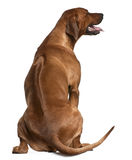 Rear view of Rhodesian Ridgeback, 2 years old Stock Photos