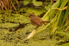 Rear view of Robin Redbreast on pond plant royalty free stock photos