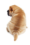 Rear view of sharpei puppy Royalty Free Stock Image