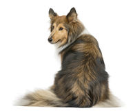 Rear view of a Shetland Sheepdog sitting Stock Photography