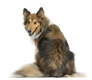 Rear view of a Shetland Sheepdog sitting Stock Images