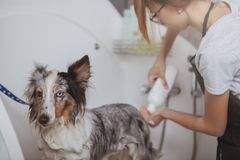 Female groomer washing adorable dog in a bath. Rear view shot of a female groomer working at her salon, washing cute little dog in a bath. Woman using shampoo royalty free stock photos
