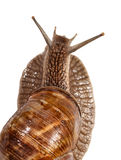 Rear view of snail Royalty Free Stock Images