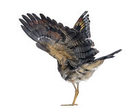 Rear view of a Sunbittern - Eurypyga helias Stock Photos