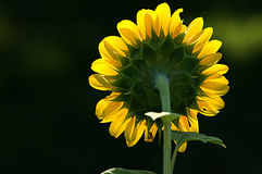 Rear View of Sunflower Stock Photo