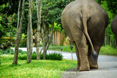Rear View of Thai Elephant Stock Photography