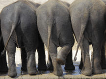 Rear view on three female indian elephants Stock Images