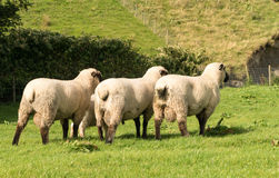 Rear view of three Shropshire sheep in meadow Royalty Free Stock Image