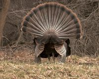 Rear View Turkey Strut. Rear view of a displaying wild turkey in springtime stock image
