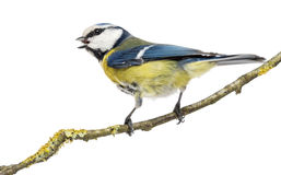 Rear view of a tweeting Blue Tit perched on a branch