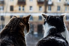 The rear view of two adult young cats black and white and tabby are sitting together on a windowsill and looking through the royalty free stock images