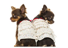 Rear view of two dressed up Chihuahuas, isolated Royalty Free Stock Image