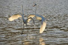 Great white egrets landing on lake Stock Images