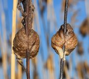 Rear view of two Praying mantis nests or egg sacs clinging to individual twigs. Two Praying Mantis Nests facing in the opposite direction to show how they Royalty Free Stock Photography