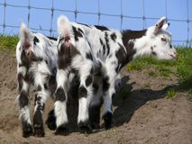 Rear view of two young Dalmation goats standing on bare earth in front of a fence. Rear view of two fluffy, cute little pink-nosed Dalmatian goats, tails up royalty free stock photography