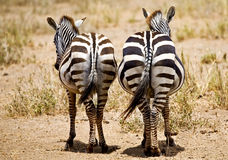 Rear view of two zebra stock illustration