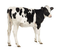 Rear view of a Calf, 8 months old Stock Images