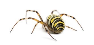 Rear view of a Wasp Spider, Argiope bruennichi Royalty Free Stock Image