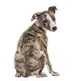 Rear view of a whippet looking backwards, 2,5 months Royalty Free Stock Photo