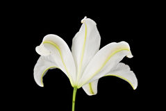 Rear View of a White Lily on a Black Background Stock Photography