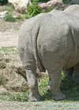 Rear view of a White Rhinoceros Stock Photo