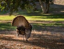 Rear view of wild turkey strutting in sunshine stock photo