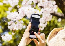 Rear view of a woman using her mobile phone or smartphone to capture images of the cherry blossoms tree. stock photography