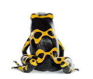 Rear view of a Yellow-Banded Poison Dart Frog. Also known as a Yellow-Headed Poison Dart Frog and Bumblebee Poison Frog, Dendrobates leucomelas, against white Royalty Free Stock Image