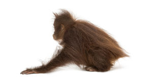 Rear view of a young Bornean orangutan crouching, Pongo pygmaeus Royalty Free Stock Image