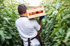 Rear view of Young man farmer carrying tomatoes in hands in wooden boxes in a greenhouse. stock photos