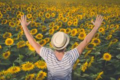 Farmer standing in sunflower field. Rear view of young man with hands up standing in sunflower field. Agriculture and summertime concepts Royalty Free Stock Image