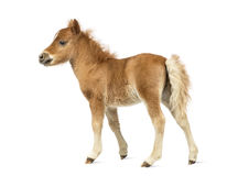 Rear view of a young poney, foal against white background Royalty Free Stock Photo