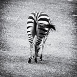 Rear view of zebra - black and white photo Stock Images