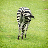 Rear view of zebra. Zebras are several species of African equids (horse family) united by their distinctive black and white stripes. Their stripes come in stock photo