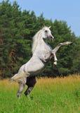 Rearing arab horse stock photos