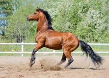 Rearing bay stallion of Ukrainian riding breed. On manege Stock Photography