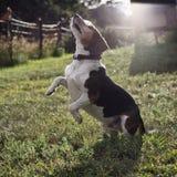 Rearing Beagle Royalty Free Stock Photo