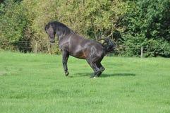 Rearing black Horse Royalty Free Stock Photo