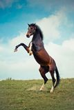 Rearing horse Stock Photography