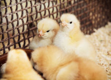 Rearing little yellow chicks Royalty Free Stock Photo