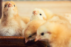 Rearing small yellow chicks Royalty Free Stock Photography