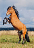 Rearing stallion Royalty Free Stock Photo