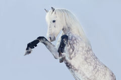 Rearing stallion Royalty Free Stock Photography