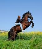 Rearing stallion Royalty Free Stock Image