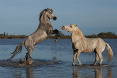 Rearing stallion. Two stallions fighting in the marshes of the camargue in southern france royalty free stock images