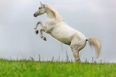 Rearing white stallion. Stock Image